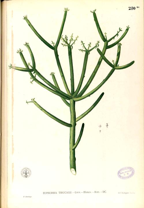 Euphorbia_tirucalli_Blanco1_210b-original