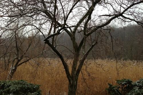 marsh:magnolia