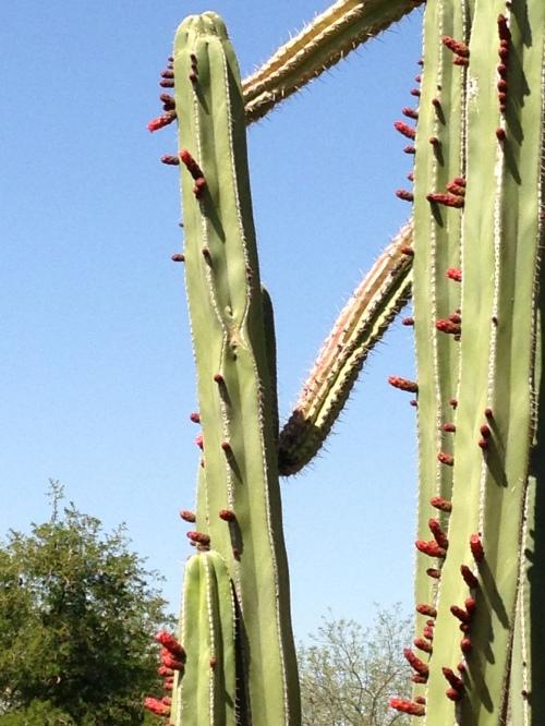 lipstick cactus