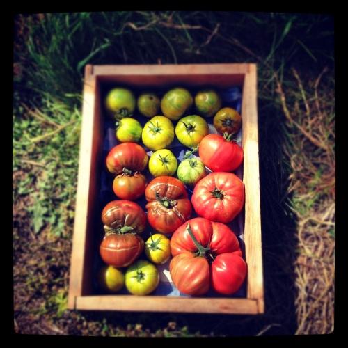 tomatoes copy