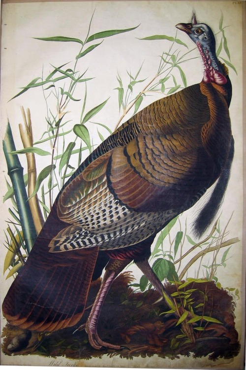 audubon_wild_turkey_large