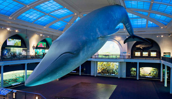 Blue-Whale-at-Natural-History-Museum-1