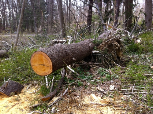Downed Pine