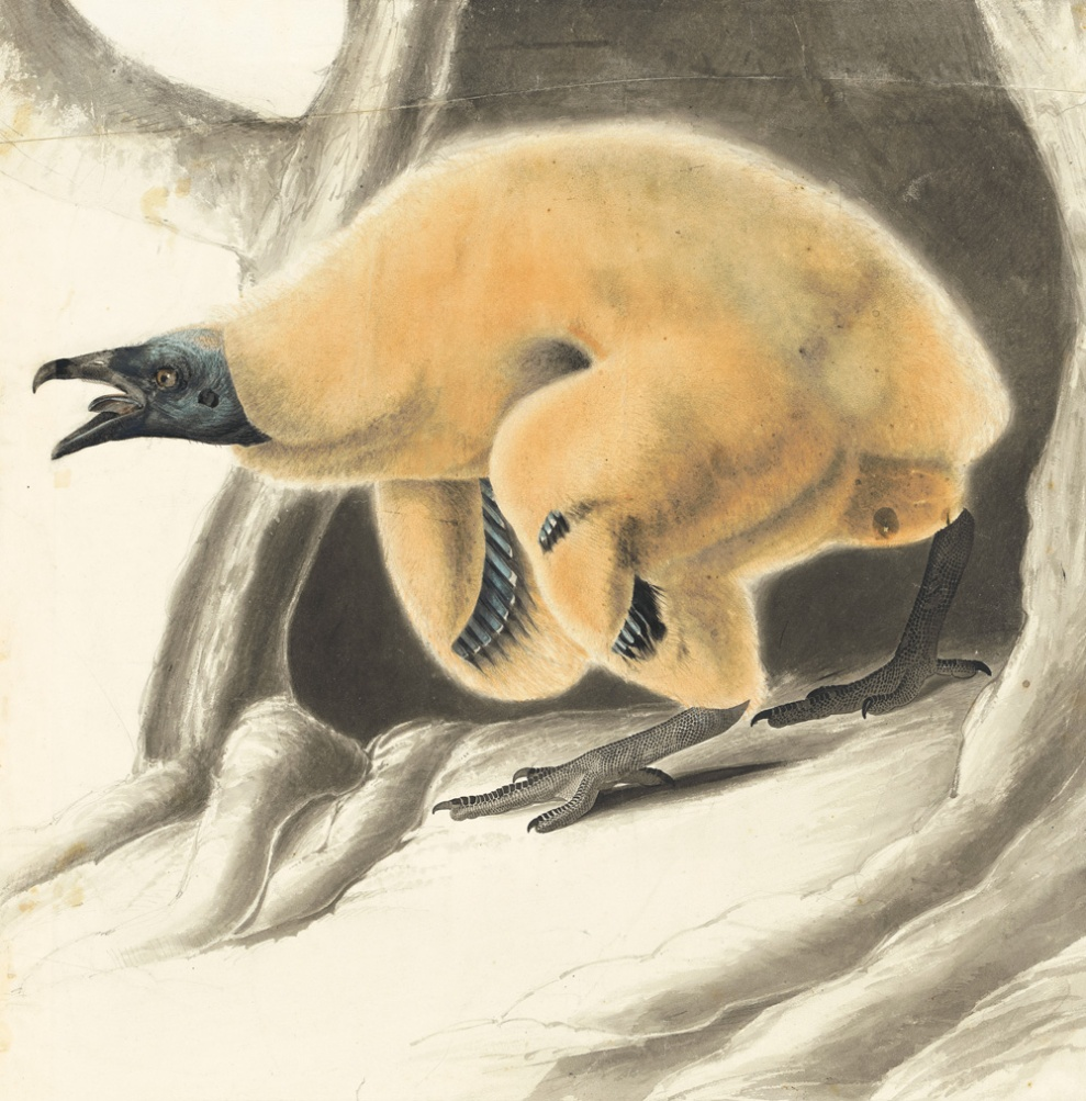 turkey vulture nestling