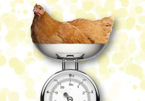 mmw-fat-chickens