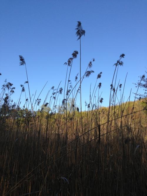 reeds swamp