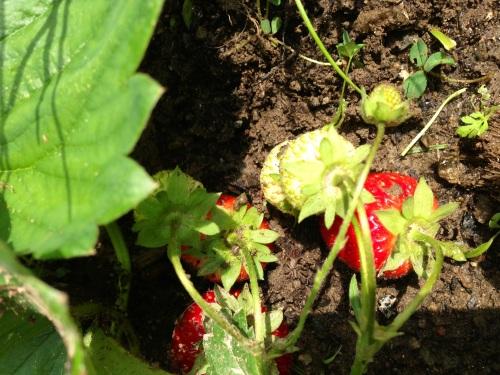 new strawberries