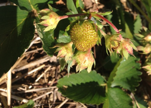 unripe strawberry