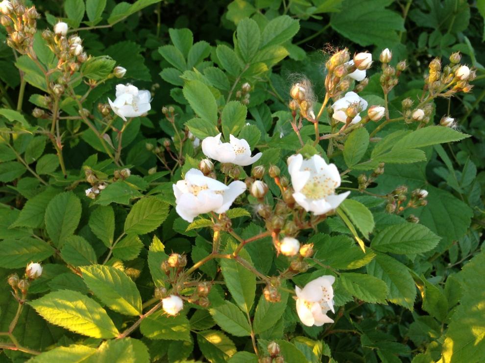 wild white roses