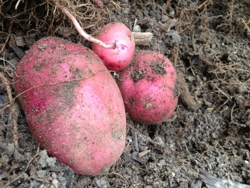 potatoes soil