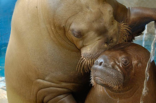 baby-walrus-kissed-by-mother