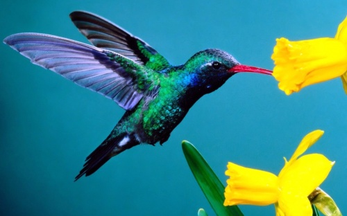 Hummingbird-Wallpaper