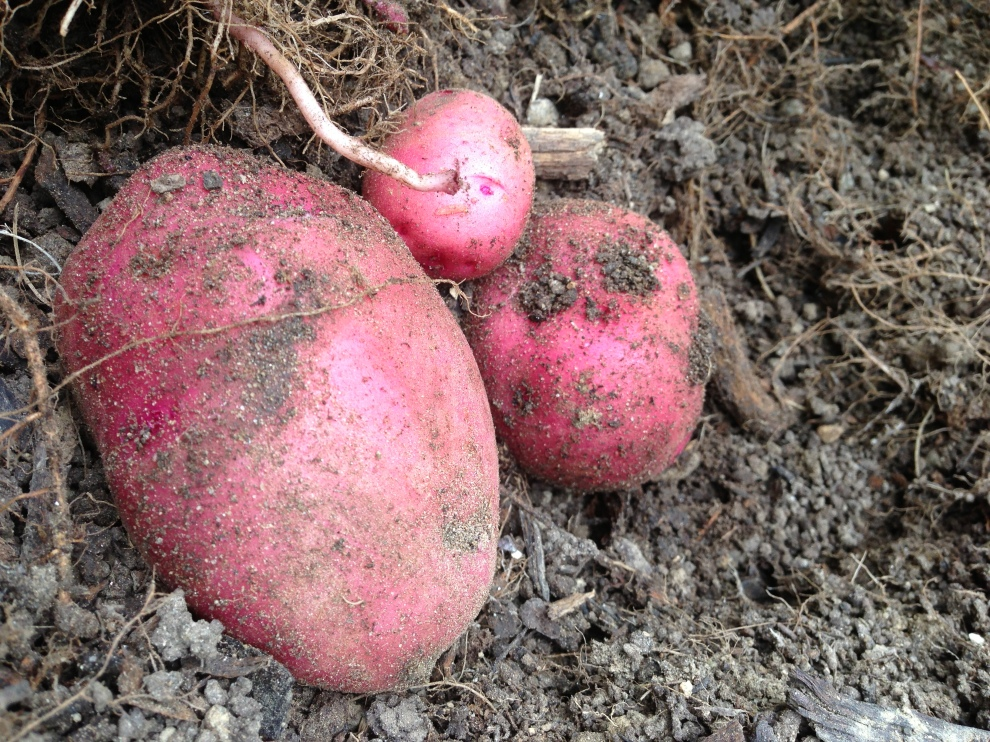 potatoes soil copy