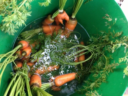 carrots in tub