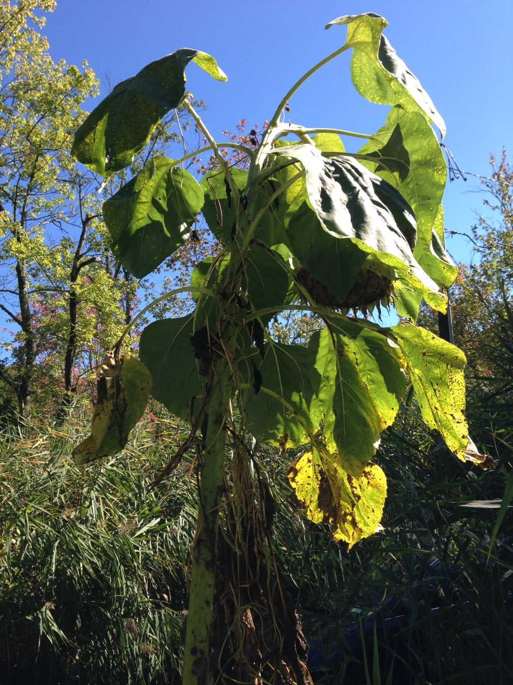 sunflower hanging