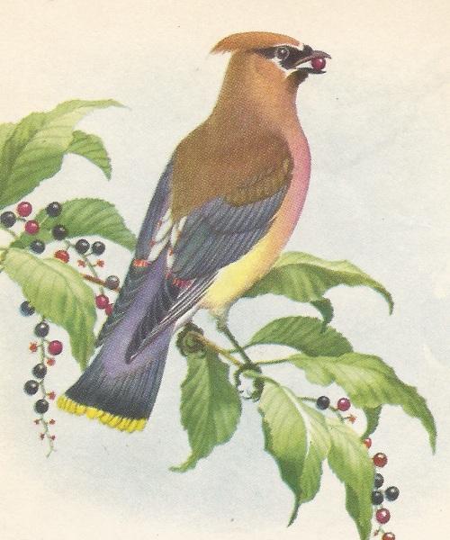 Bird ced