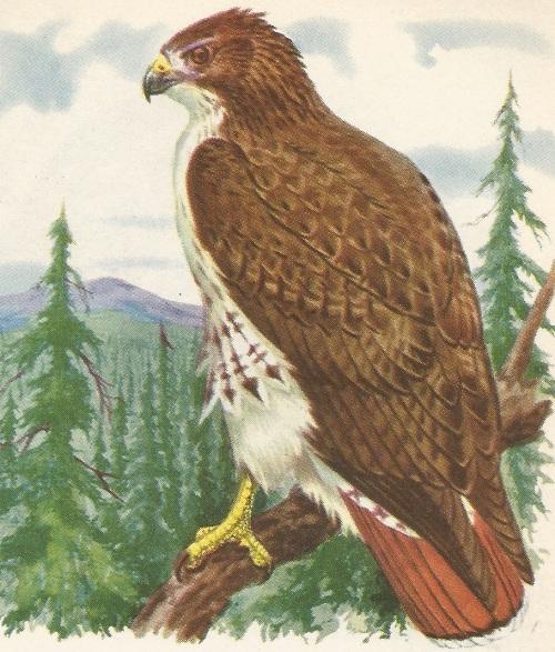 Bird hawk