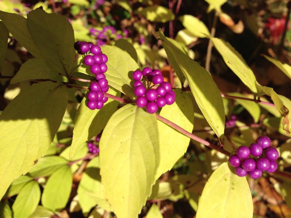purple berries cu