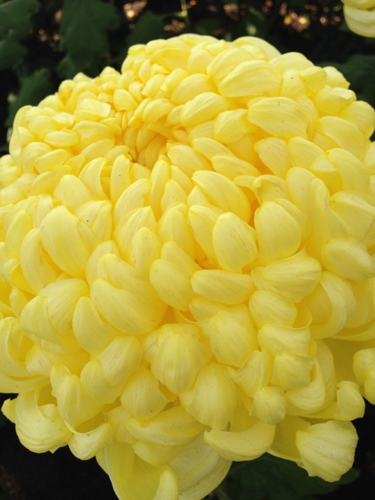 vivid yellow 2