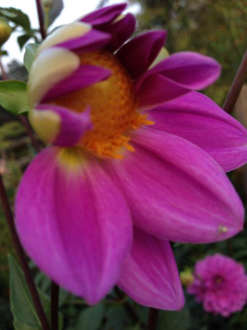 fuschia-flower