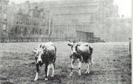 grandcentralcows 18702