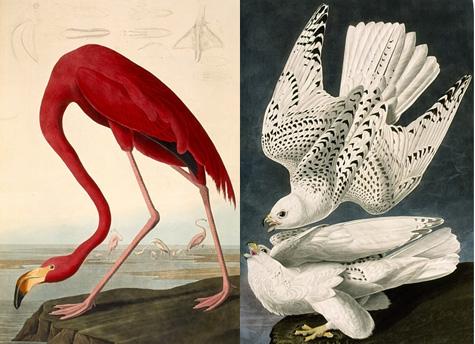 Audubon-birds