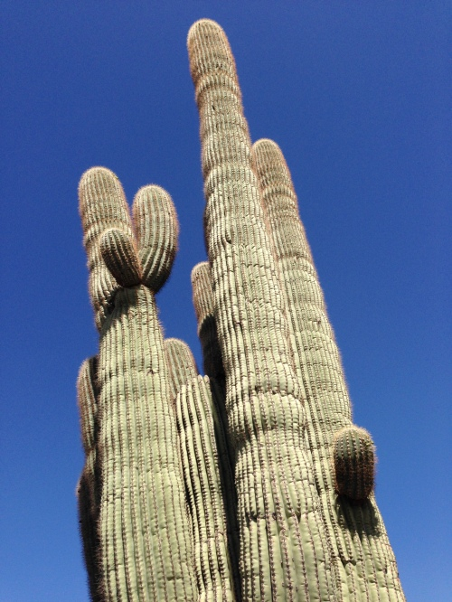 grown saguaro