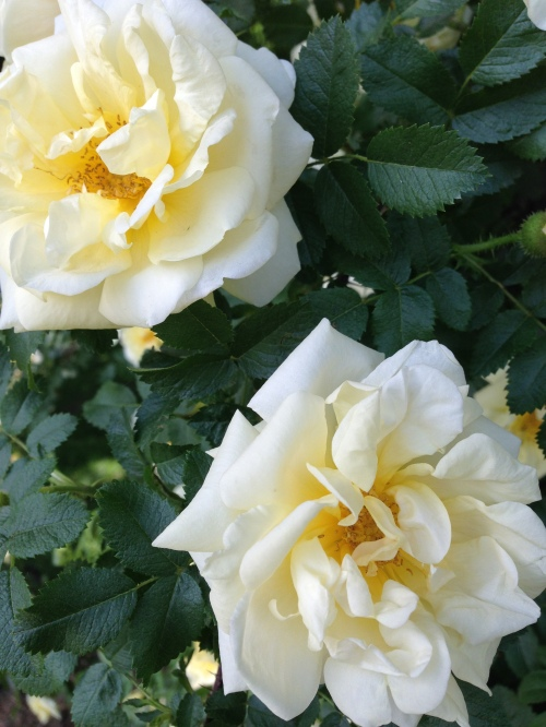 yellow roseos