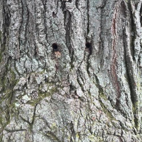 oak w eyes