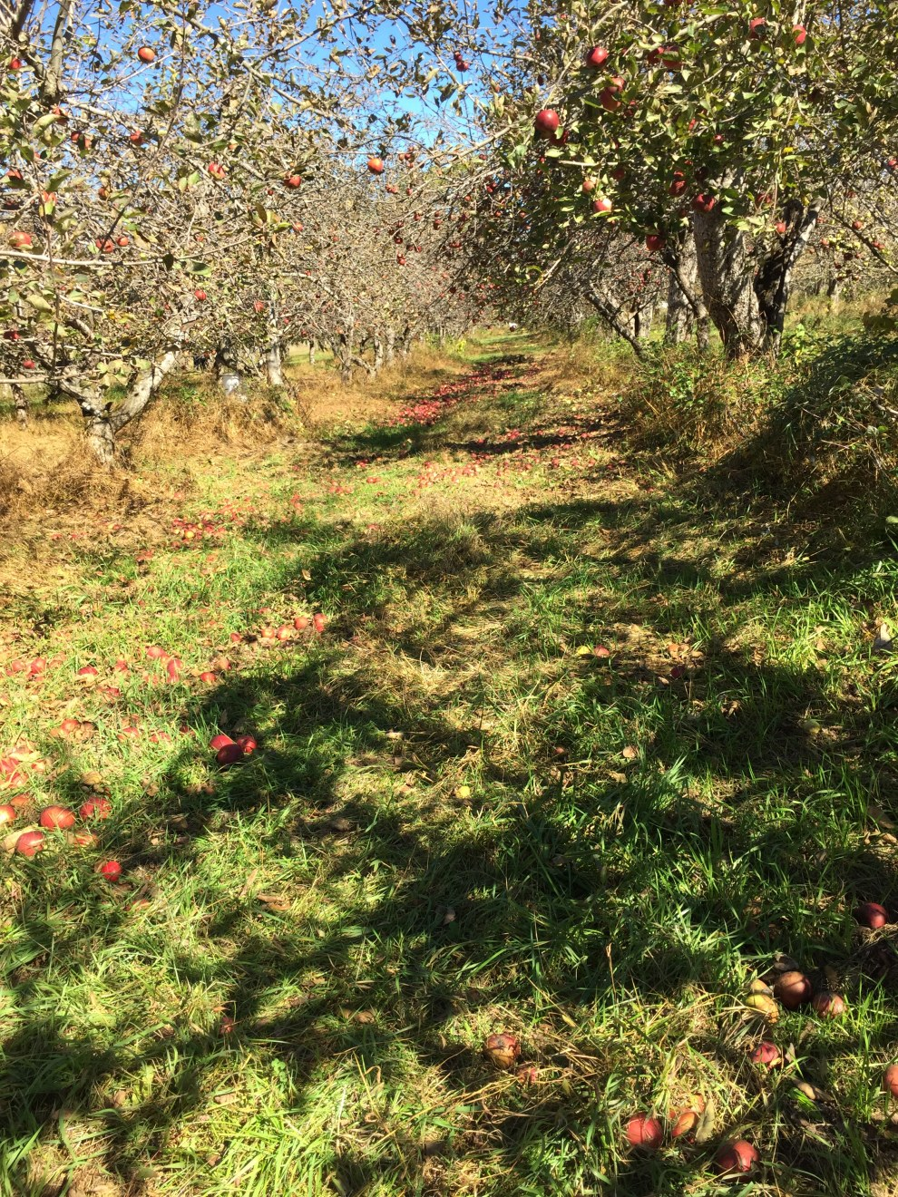 orchard drifts