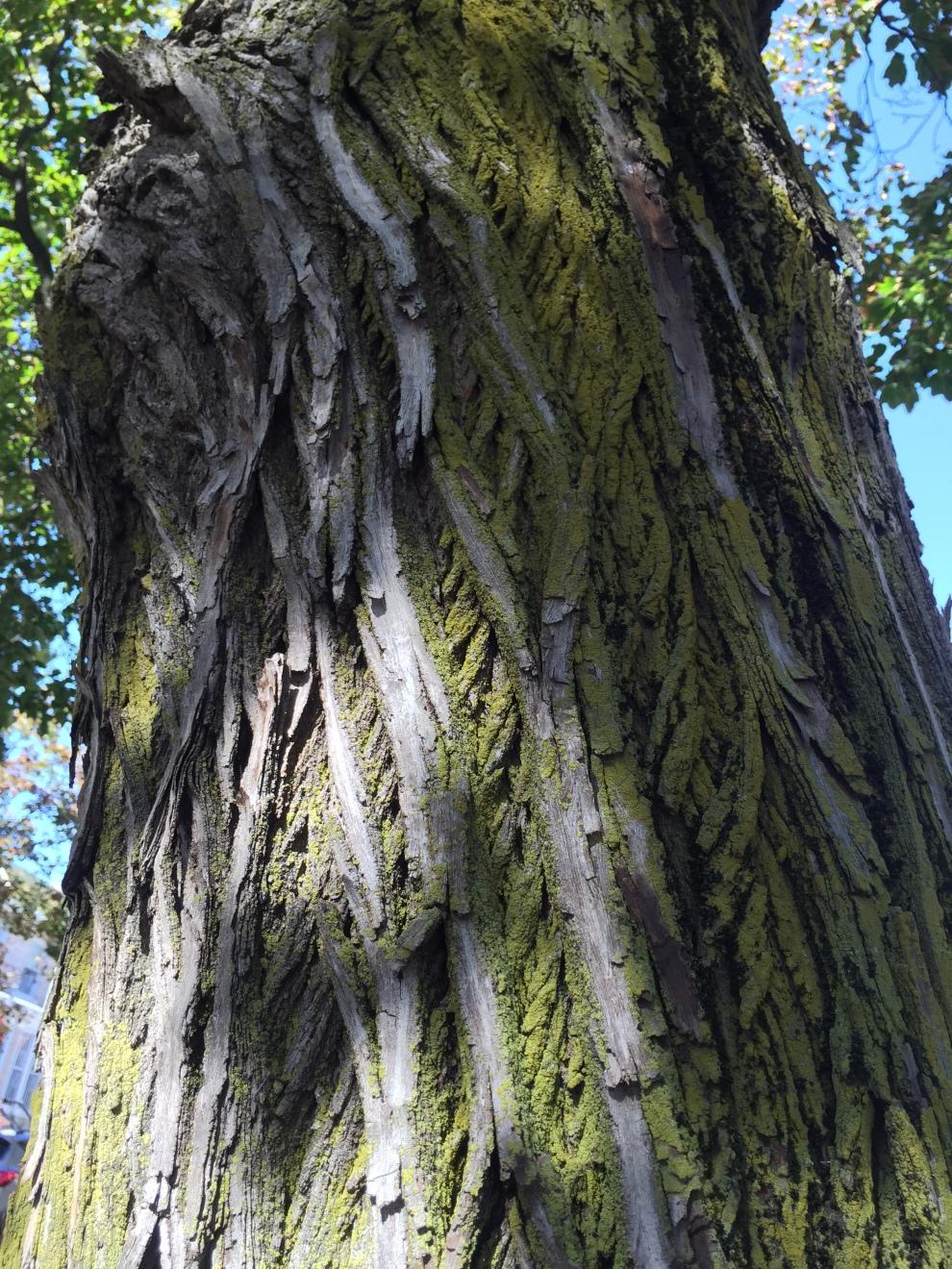 sugar maple lichen