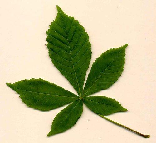 Leaf Horse chestnut