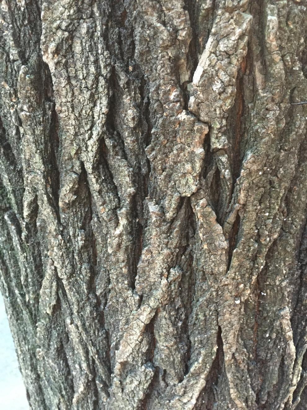 ash bark.jpg