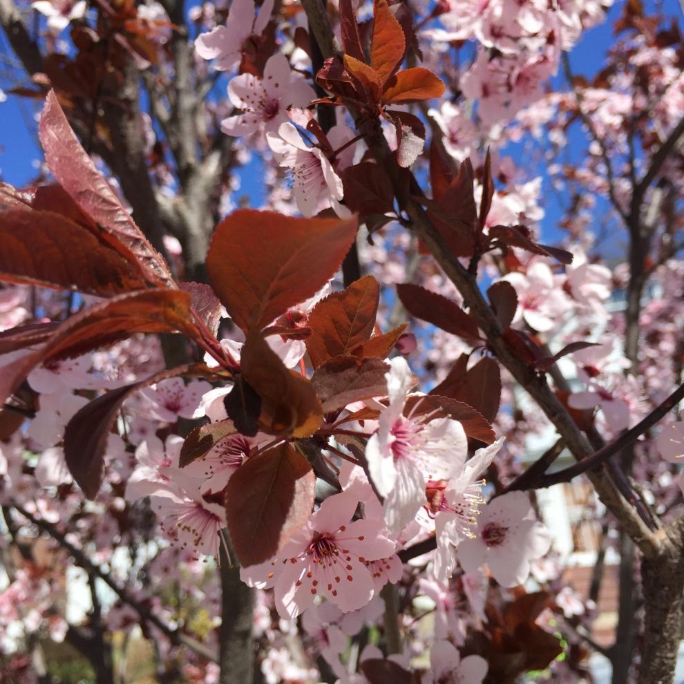 red leaf plum.JPG